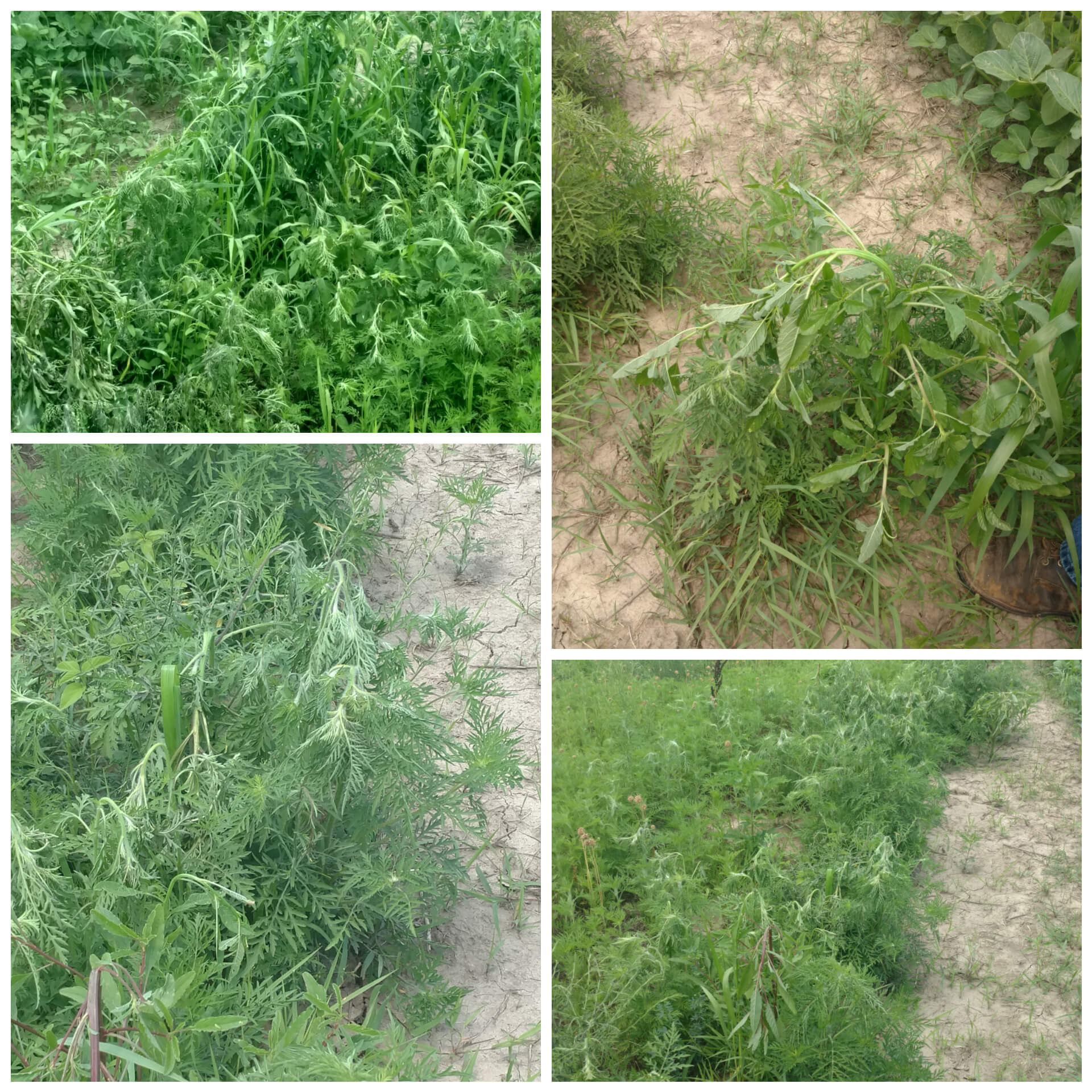 Before And After Weeds The Weed Zer